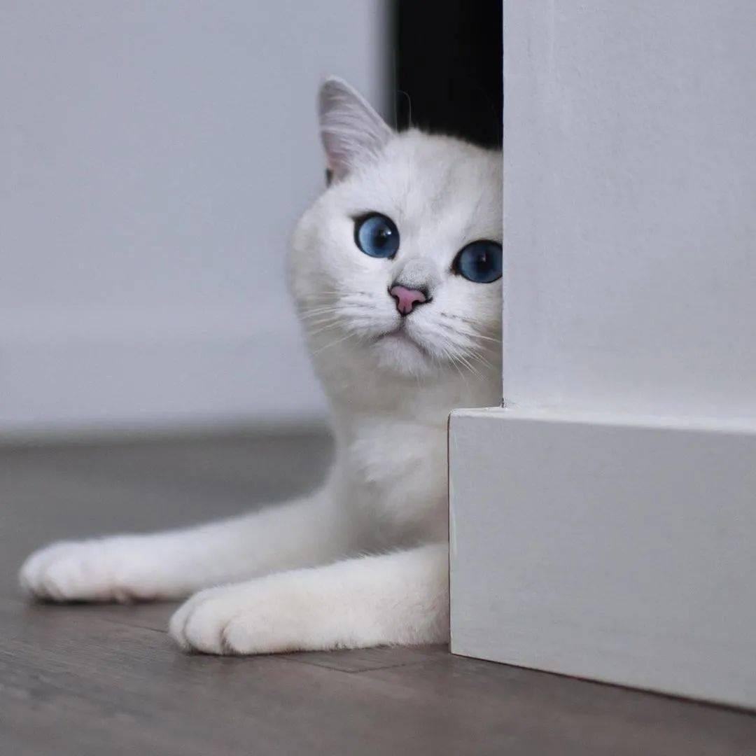 全球颜值最高的猫,年收入3500万!