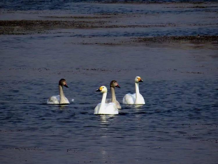汝水一湾,引来珍稀鸟类嬉游撒欢!