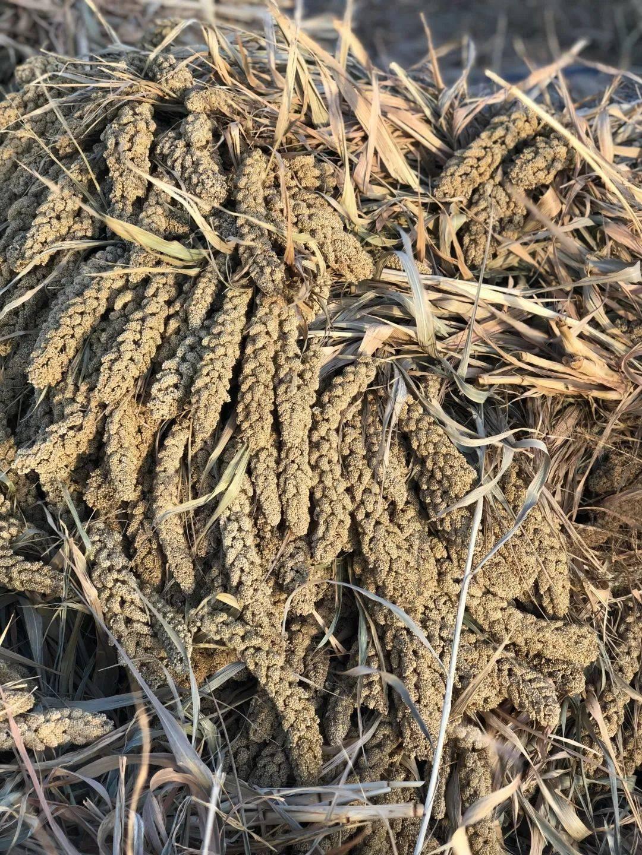 """这个""""油厚""""的小米,是今年非常难得的""""旺盛土气"""""""