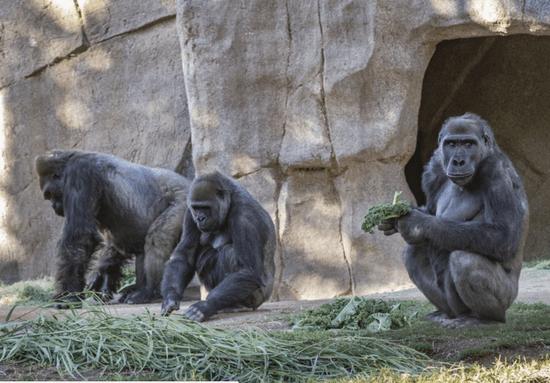 美国野生动物园一群濒危大猩猩感染新冠病毒