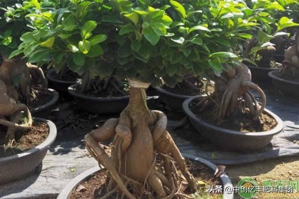 榕树盆栽植物老掉叶子图片