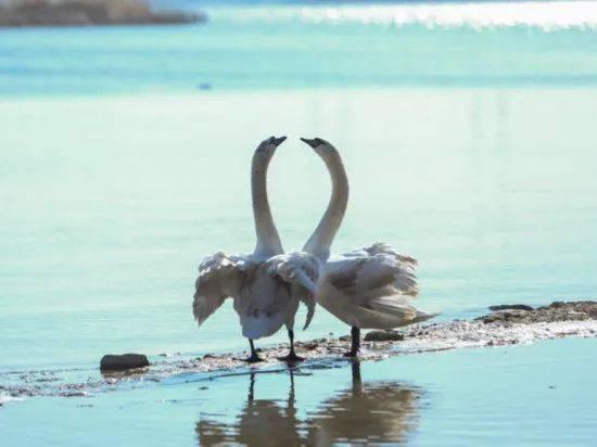 想外出游玩?可以去郑州的北龙湖湿地公园赏天鹅哦!