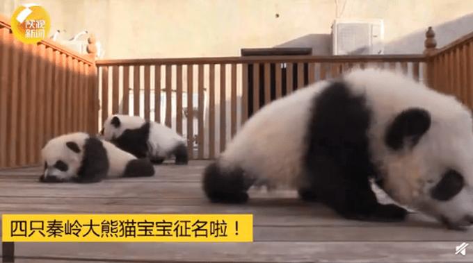 """陕西秦岭大熊猫研究中心""""上新"""",一起给4只大熊猫宝宝起名,评论亮了!"""