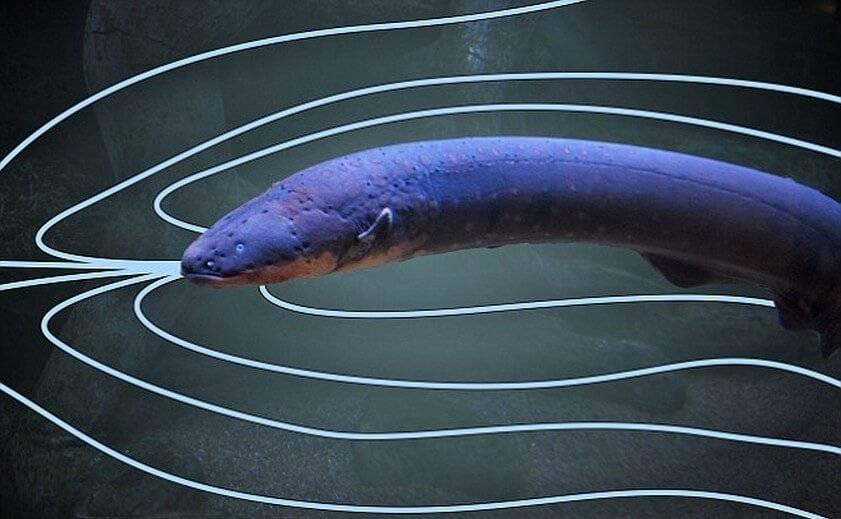 电鳗放电原理(电鳗为什么能够发电)插图