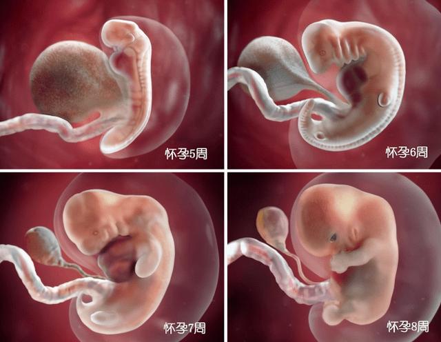 胎儿在母体是如何长大的?一组图告诉你 不同阶段宝宝的发育过程-家庭网