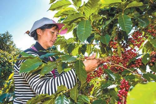 最初的云南咖啡卖得很便宜:这个行业在全国排名第一,但它成了跨国资本的廉价供应商