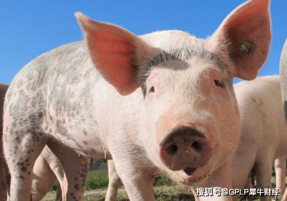 """原创             """"猪茅""""牧原股份95.5亿可转债获批 年赚300亿元还缺钱吗"""