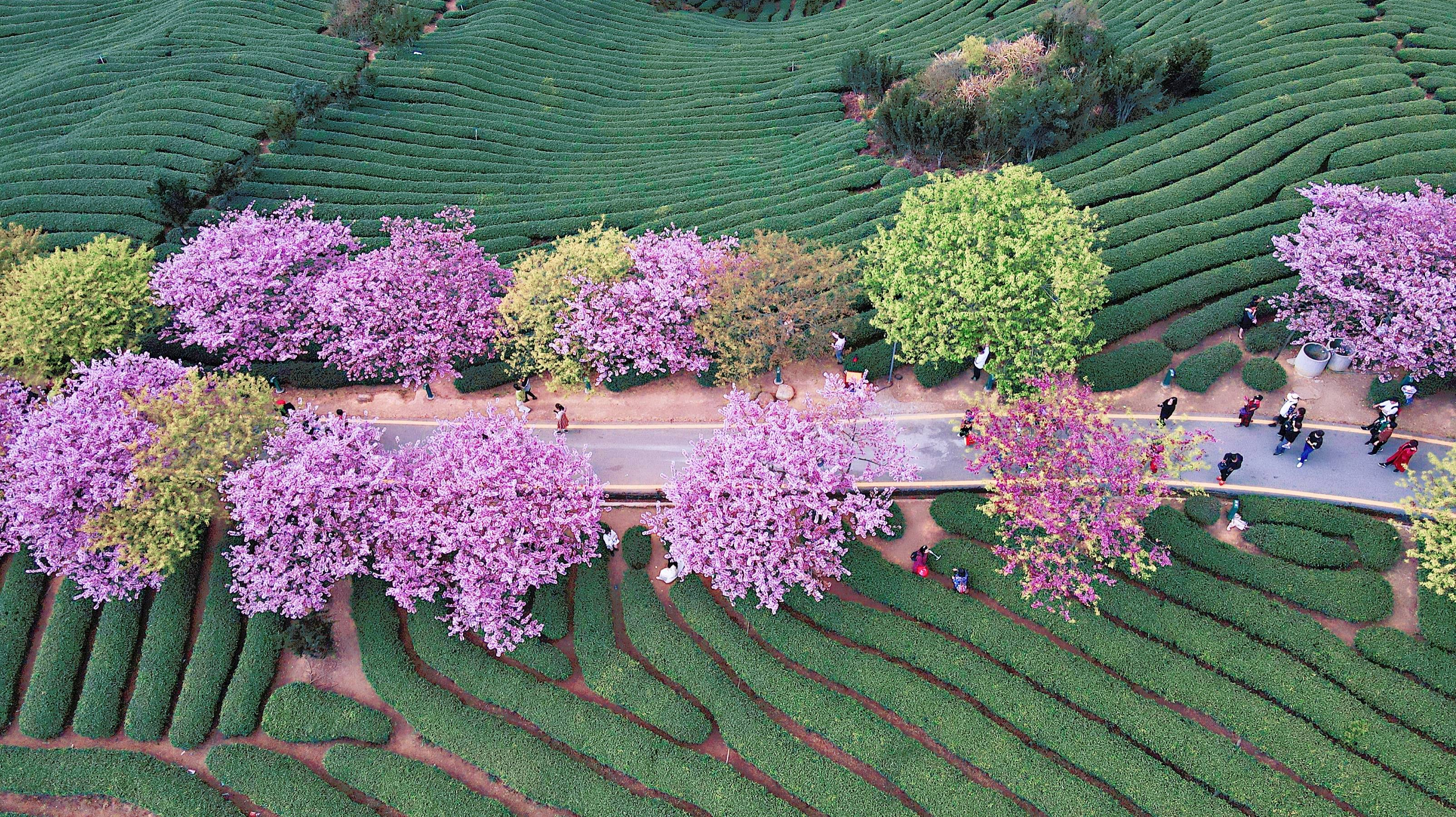 6b8c372bc4844e7b8b9b0b6f9f3d0423 - A guide to viewing cherry blossoms in Fujian, China's most beautiful cherry blossom sacred land, Alishan on the mainland_台品- Sohu