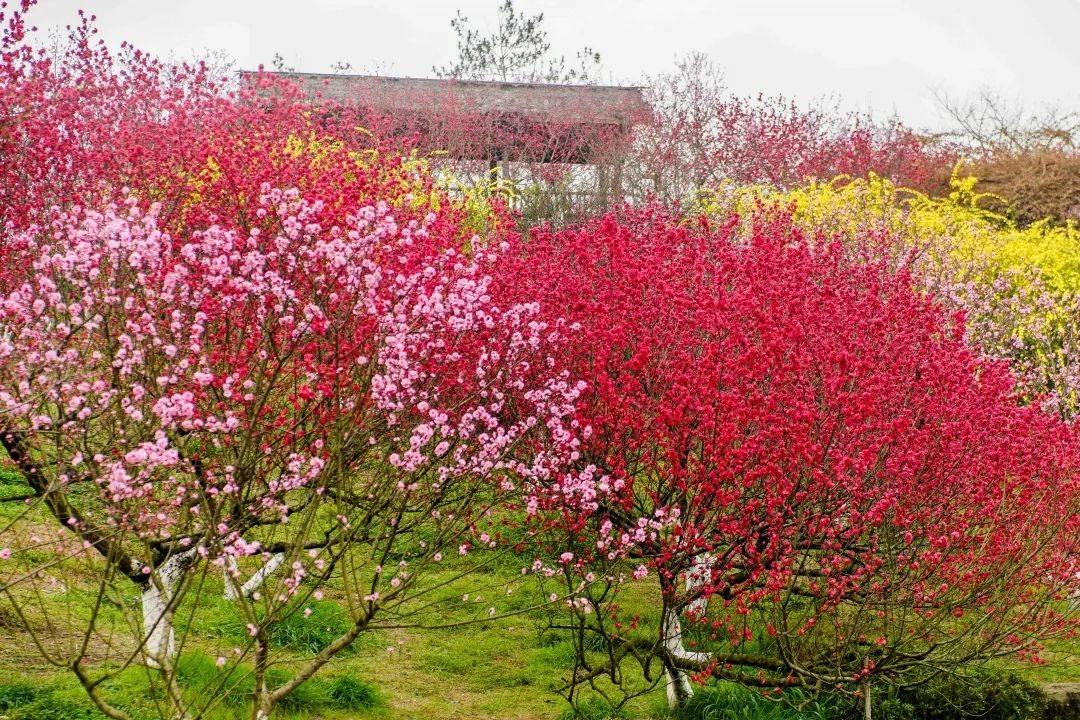 成都春日最美打卡地!虞美人花海、浪漫桃花都有!不出市区拍大片