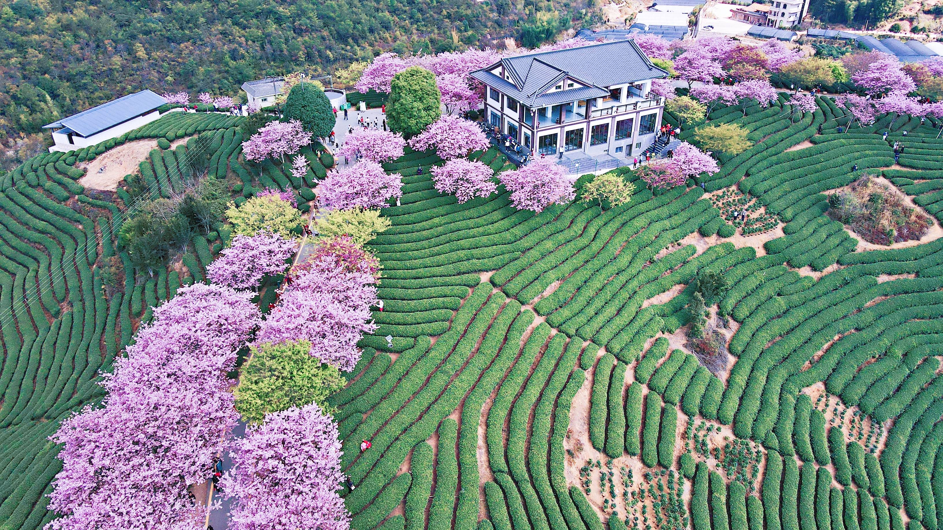 fc7ff952d4c949bb91a232cfacccbf14 - A guide to viewing cherry blossoms in Fujian, China's most beautiful cherry blossom sacred land, Alishan on the mainland_台品- Sohu