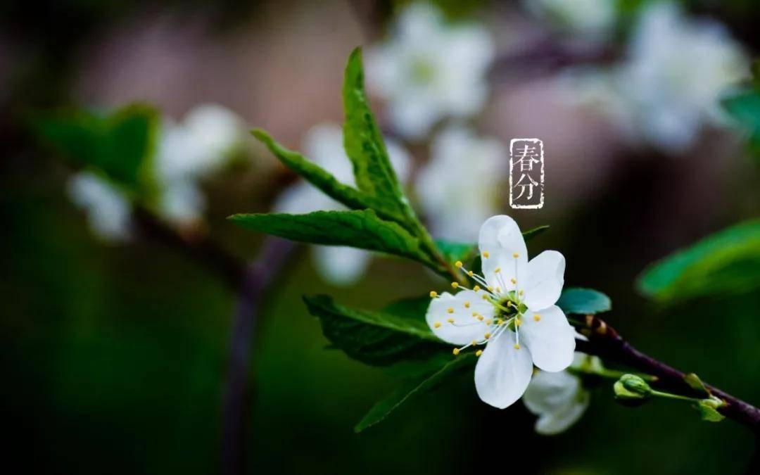 春分时节,和我一起去武大看樱花吧!