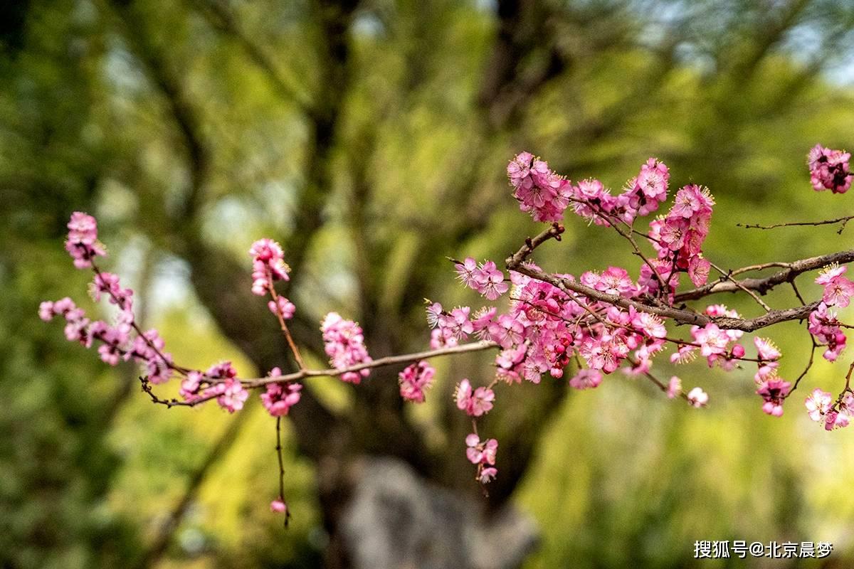 春叩桃花 颐和园西堤