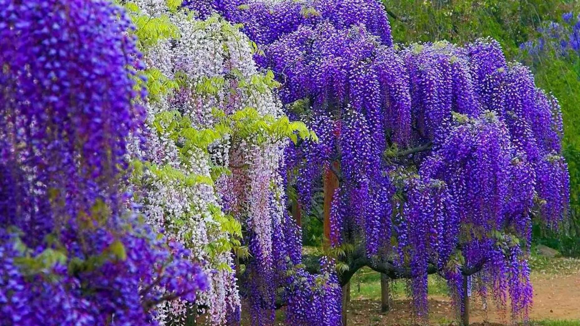 """摄影图片欣赏:日本足利花卉公园的""""紫藤花物语"""