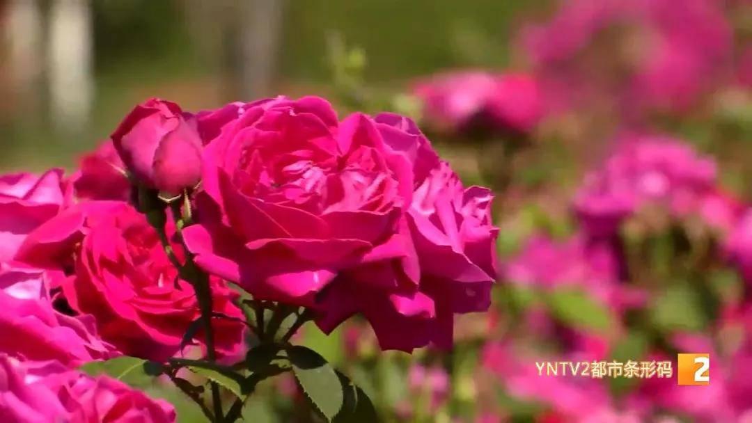 过眼瘾!这所大学盛开着30亩玫瑰!又香又甜,可赏可拍还可吃!