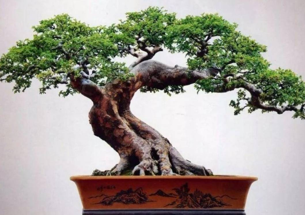制作盆景的树桩名称,下山桩,生桩,熟桩  金弹子生桩栽培图解法