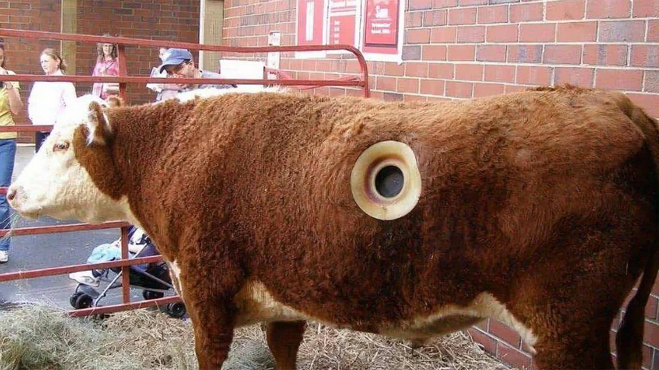 美国人为什么在牛肚子上打个洞,对牛有什么好处吗
