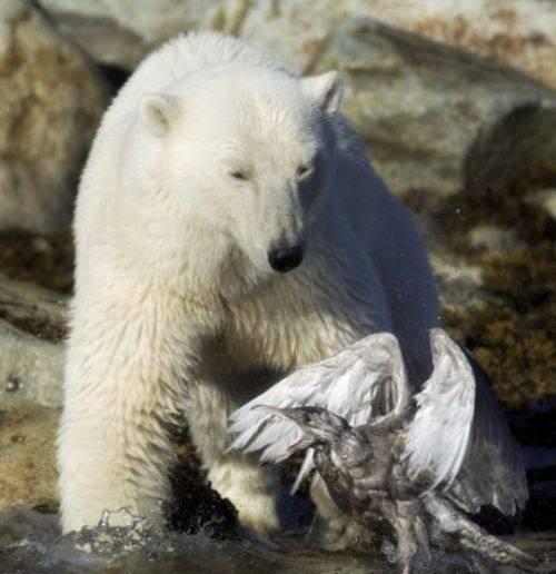 北极熊饿疯把目标转向捕鱼的海鸥,结局让游客出乎意料
