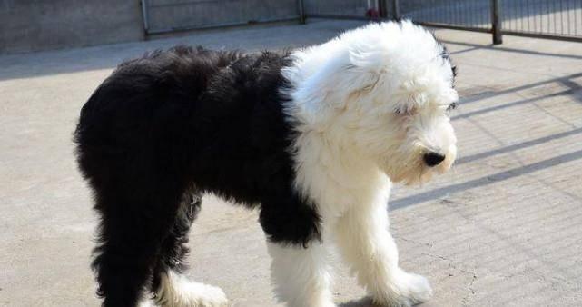 最粘人的5種狗狗:古牧倒數,約克夏第二,第一非它莫屬吧?