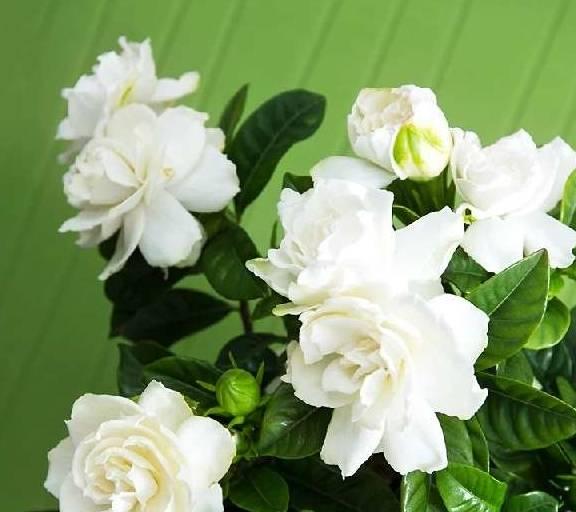 夏季养花首选,比绿萝还好养,比香水还香,花期超长,满室飘香