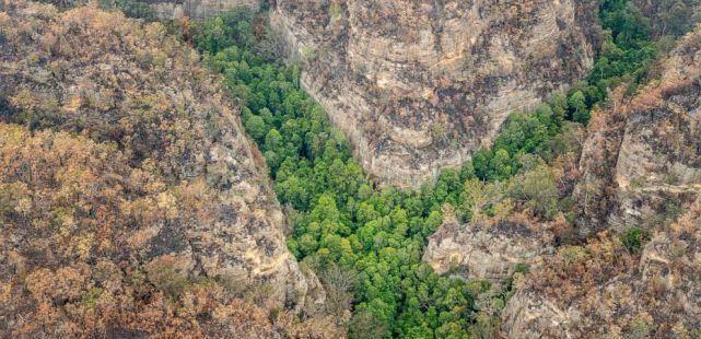 """澳大利亞從山火中搶救瀕危""""恐龍樹"""",全球僅剩不到200棵"""