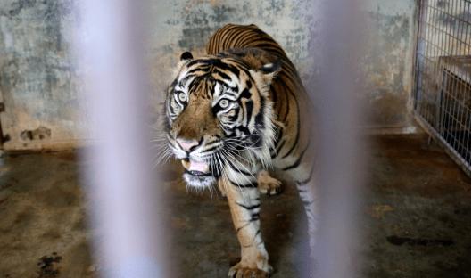 印尼两只濒临灭绝的雄性苏门答腊虎感染新冠病毒