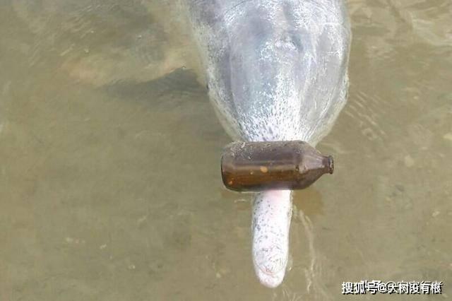 """澳大利亚一只海豚上岸""""送礼"""",感谢人类对它的帮助,要成精了?"""