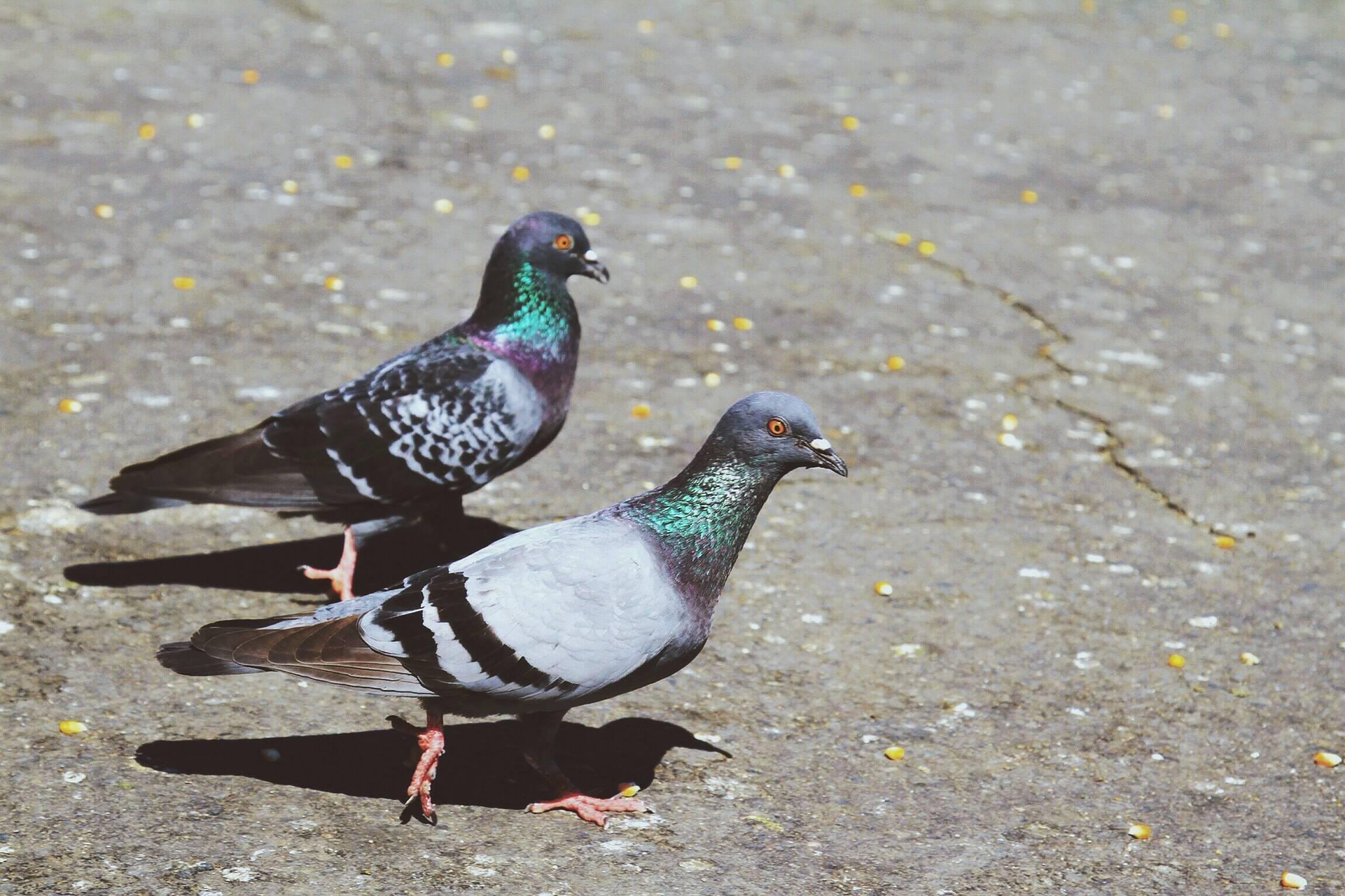 【新常识,快相识】鸽子饿一饿可以办理这些问