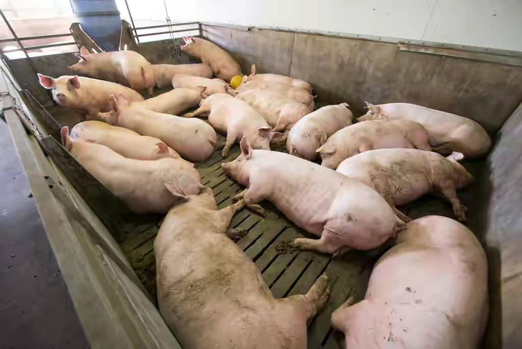猪价持续下跌的原因是什么,亏损的朋友都犯了哪些错误,深入分析