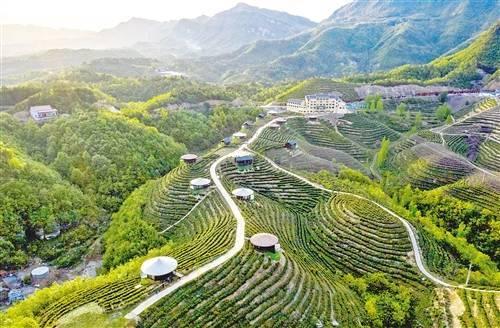 农业农村部:促进茶产业健康发展 到2025年干毛茶总产值达到3500亿元