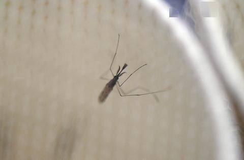 为消除疟疾,数百万转基因蚊子将在美国释放,专家:恐酿成大错