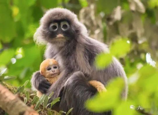 云南发现最大菲氏叶猴种群,数量近400只,还有多只金色小猴子
