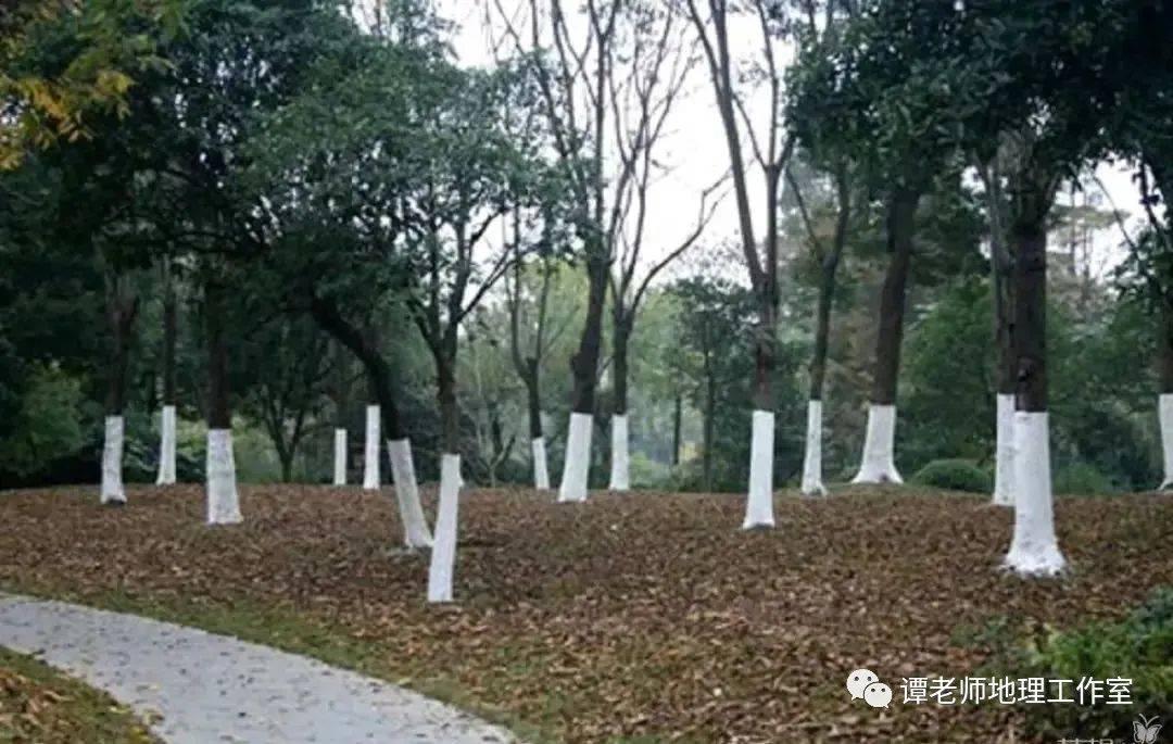 【探究】關于樹木涂白你應該知道的知識,附專題設計