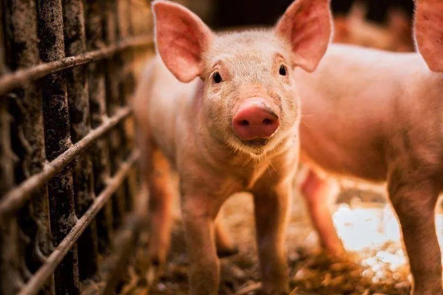 4000亿头猪能飞多久?