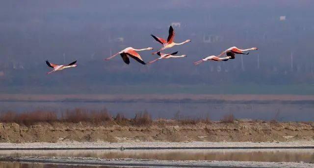 山西运城生态改善,大年初一气温回暖,火烈鸟常年栖息盐湖!  第6张