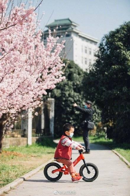 红粉陌上,春色正浓!武汉大学早樱盛放