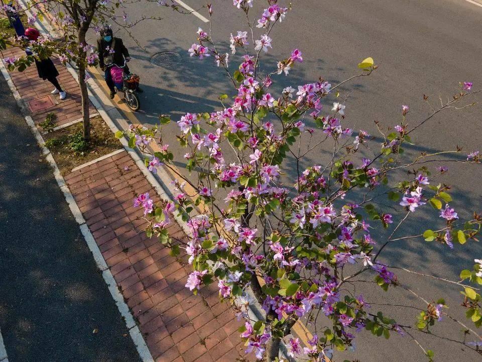 海龙街这个地方美呆了!紫荆花开满一路~