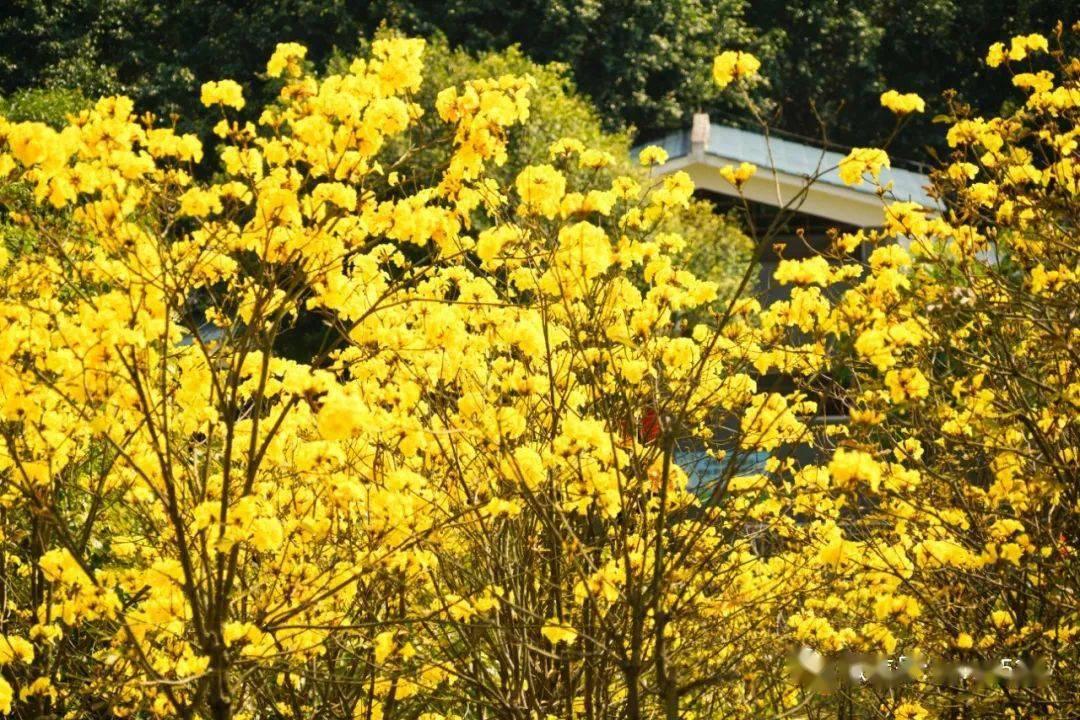 吐血实拍!南宁藏了6个赏花胜地!油菜花、黄花、格桑花、菊花…美不胜收!