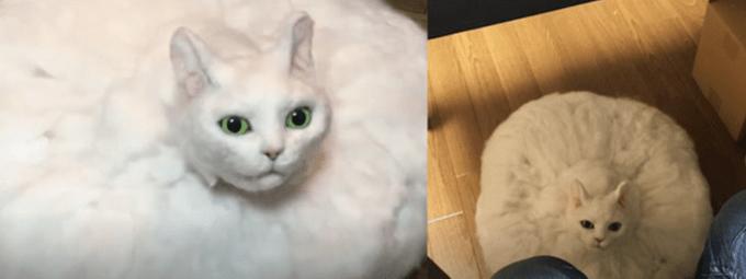 """""""扫地机器猫""""快速移动发现主人撒娇,网友吓了一跳:我还以为猫在棉花里呢"""