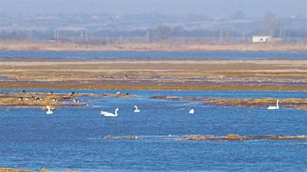 三秦新风貌 白天鹅起舞黄河湿地