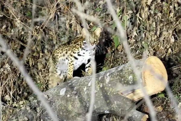 豹猫、黑熊、斑头雁......最近珍稀野生动物在云南各地频繁亮相!