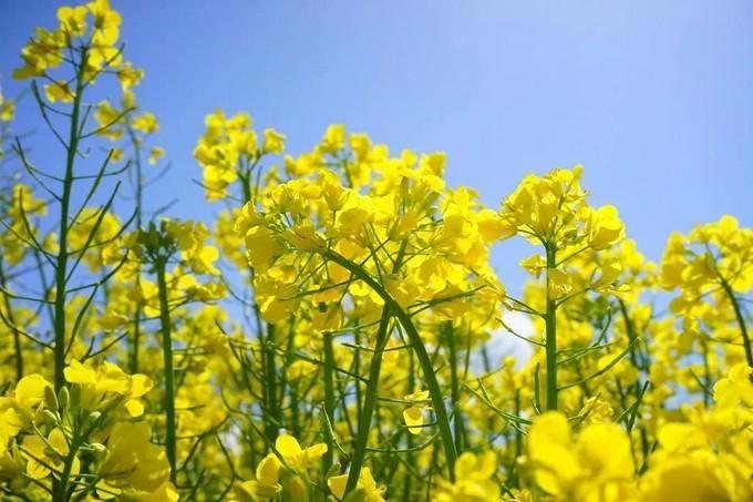 按下快门,去捕捉重庆金黄的春天!