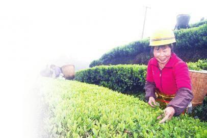 纳溪 采茶用工需求大