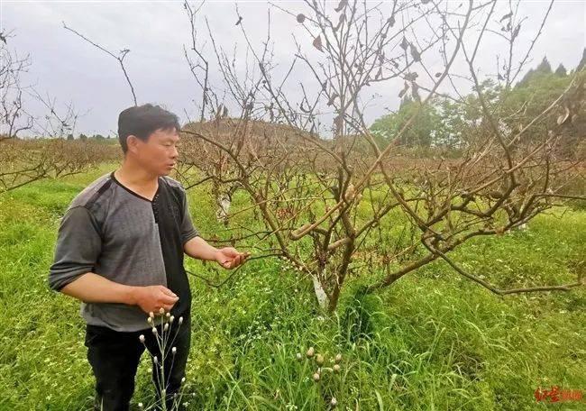 果园4000多棵柠檬树枯萎 实验有机肥有问题?