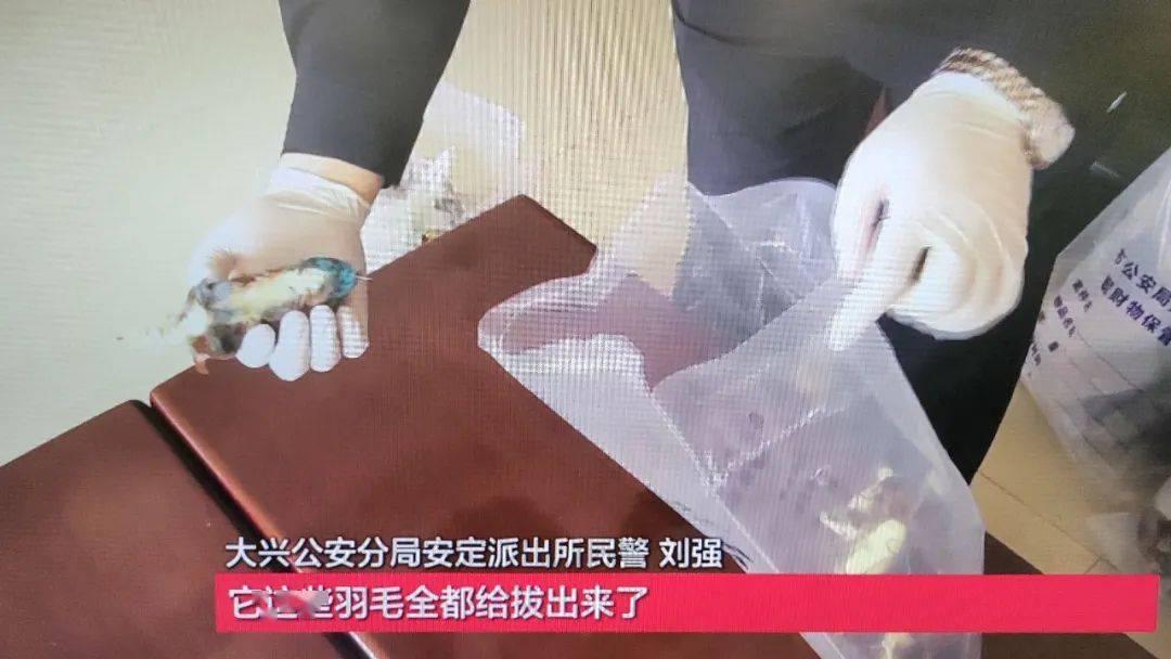 太残忍!男子拔活翠鸟羽毛制作饰品,警方:刑拘!