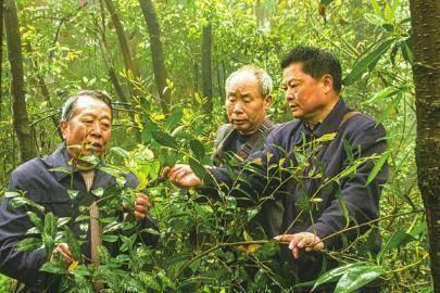 丹棱发现铁山紫茶