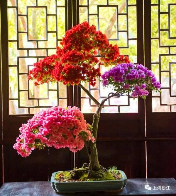 【探索】梨花、木绣球、杜鹃花……宝山和松江赏花正当时