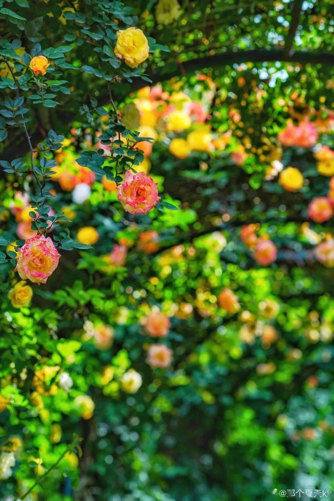 成都植物园里的月季绝美盛花期来啦!
