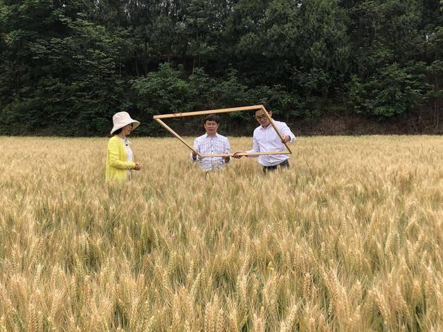 """更适合做馒头的小麦!新品种""""川育29""""好在哪儿?"""