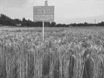 一批特色高产小麦新品集体亮相