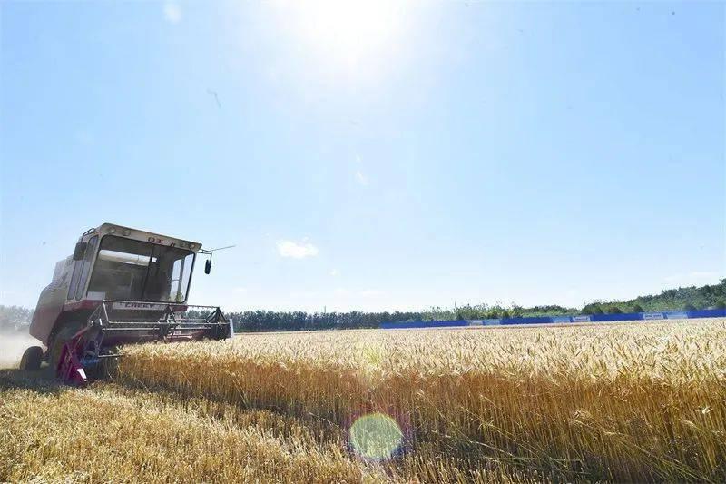麦浪滚滚!通州城区唯一麦地开镰收麦!还不赶紧去打卡